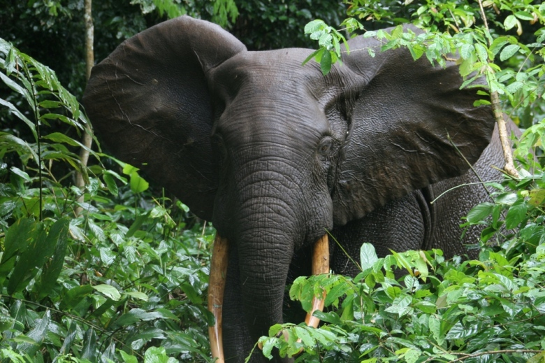 Forest elephant congo